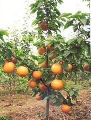 大规格柿子树销售