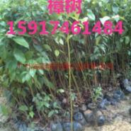 广州樟树苗图片