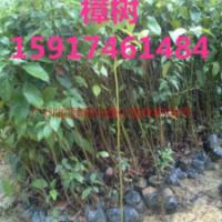 供应广东樟树苗木便宜价,樟树苗木供应,樟树苗木批发,樟树苗木批发价格