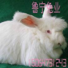 供应安徽省亳州卖的长毛兔种兔便宜吗