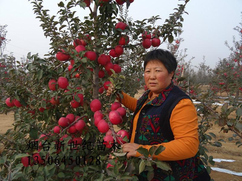 供应山东烟富0苹果苗,山东烟富0苹果苗销售,山东烟富0苹果苗供货商