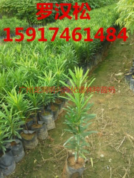 供应用于绿化造林的广东50公分高罗汉松树苗便宜价格,广州60公分高罗汉松种苗供货商,南方70公分高罗汉松小苗报价