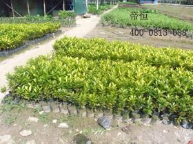 别墅景观绿化工程,学校绿化工程,公路护坡绿化工程,城市绿化苗