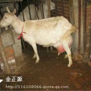 萨能奶山羊图片