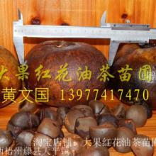 供应广西大果红花油茶苗