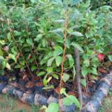供应红包木小苗出售,红包木批量优惠出售,广州红包木价,红包木市场报价