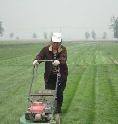 黑麦草草坪图片/黑麦草草坪样板图 (2)