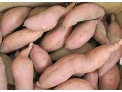 供应龙薯九种薯,龙薯九薯苗,15年龙薯九秧子