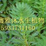 安新县狐尾藻种植厂家/黒藻种植/荇菜种植/水生植物种植/苦藻种植/人工浮床制作/人工浮床制作