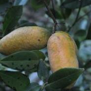 浙江九月黄(五叶木通)黄金蕉图片