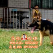 广州买德国牧羊犬到哪里好图片