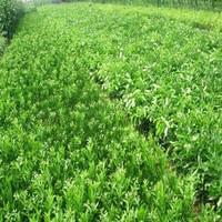 供应用于种植的青艺苗木东方红橘种苗批发