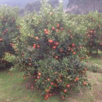 湖南东方红橘种苗批发