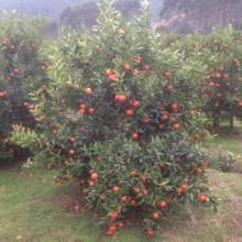 供应用于种植的湖南东方红橘种苗批发批发