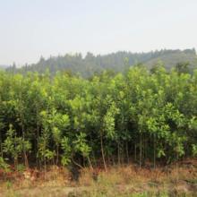 供应湖南东魁杨梅,东魁杨梅价格,东魁杨梅种植技术