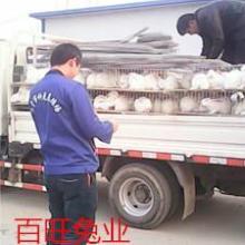 供应肉兔种兔养殖百旺兔业技术稳定批发