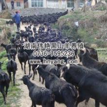 供应黑山羊养殖场投资管理执行力如何养好黑山羊批发