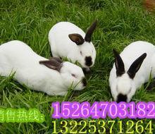 供应兔种种兔,獭兔种兔,肉兔种兔,长毛兔种兔,野兔种兔