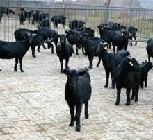 供应种羊肉羊小羊 昭通市彝良县小羊、羊羔批发