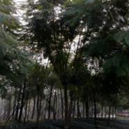 供应20CM蓝花楹,四川泸州蓝花楹苗圃种植基地