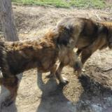 高加索犬出售