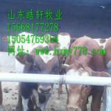 供应西门塔尔种牛多少钱一头