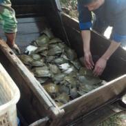 湖南汉寿纯种中华鳖甲鱼种苗养殖厂图片
