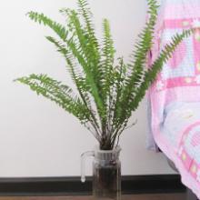 供應山東高效凈化室內空氣植物波斯頓蕨、高效充氧供氧花瓶批發、圖片