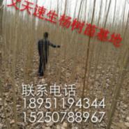 四川107杨树苗价格图片