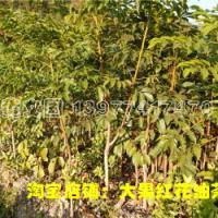 供应黑橄榄树苗,广西黑橄榄树苗,黑橄榄树苗供应商
