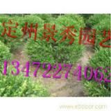 定州景秀园艺 供应河北小叶黄杨球价格 园林植物小叶黄杨球