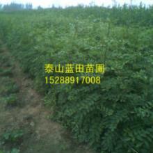供应枸橘苗价格,最新一年生枸橘砧木小苗图片