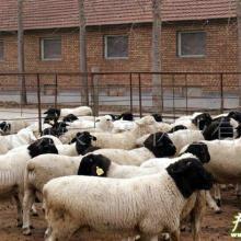 供应杜泊羊羊肉