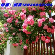 沭阳蔷薇月季图片