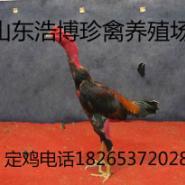 河南斗鸡养殖场纯种越南斗鸡多少钱图片