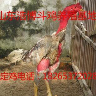 新疆纯种越南斗鸡养殖场斗鸡价格图片