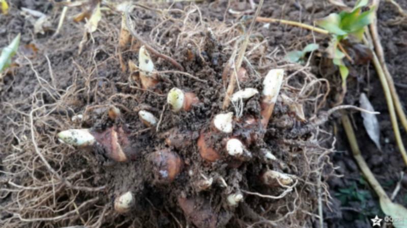 重楼种子多少一公斤_重楼种子种苗厂商图片大全