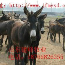 供应陕西关中驴养殖业