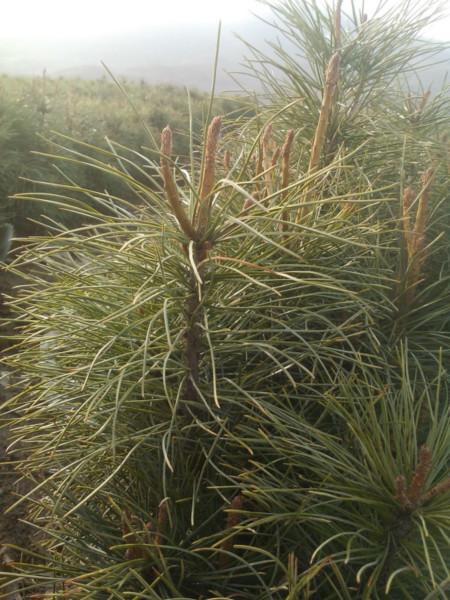 供应实生3年生红松苗、东北红松3年苗东北红松苗基地果材兼用 红松苗