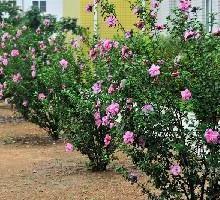 供应丛生木槿灌木批发