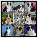供应宠物狗边境牧羊犬 广州边牧价格 边境牧羊犬图片 广东暮光狗场