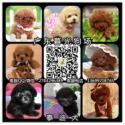 供应高品质泰迪广州泰迪价位广州出售纯种泰迪广东暮光狗场