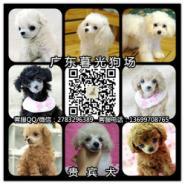 贵宾幼犬图片