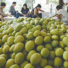 四川攀枝花凯特芒果价格优惠,种植基地,包邮价,直销价,实惠价批发