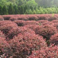 物美价廉木本植物市场价格情况木本植物陣