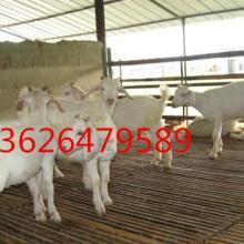 供应白山羊,白山羊价格,优质白山羊批发/采购