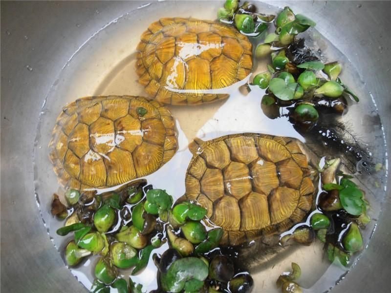 的宠物龟_供应巴西龟苗 也称红耳彩龟 宠物乌龟活体养殖场直供