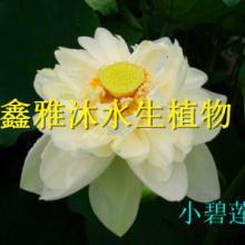 供应通辽精品荷花种植15933731160,厂家种植睡莲,种植芦苇,种植香蒲,种植水葱,种植各种水生植物图片
