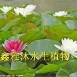 供应焦作睡莲种植,厂家种植荷花,香蒲种植,水葱种植,芦苇种植,浮岛制作 ,种植各种水生植物