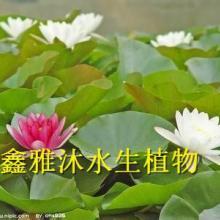 供应扬州睡莲销售,睡莲种植,睡莲批发公司批发